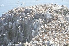Gannet Colony (CarolMoore007) Tags: seabirds gannets coast sea birds water sky shore nature landscape summer bird