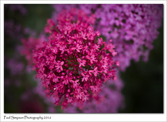 Nature is colourful (Paul Simpson Photography) Tags: flowers summer nature bush summertime naturalworld purpleflowers pinkflowers summerflower naturephotos photosof imageof photoof imagesof sonya77 paulsimpsonphotography june2016