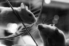 Love (Mubarak Fahad) Tags: hamsters love