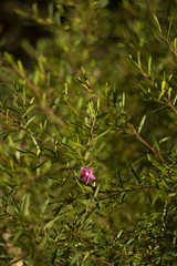 Crowea sp. (louisa_catlover) Tags: pink winter plant flower art nature floral canon garden botanical eos flora dof artistic native bokeh outdoor australian july australia melbourne victoria depthoffield m42 f2 manual shrub russian 58mm manualfocus helios dandenongs dandenongranges kalorama 2016 australiannativeplant rutaceae vintagelens crowea helios442 60d karwarra karwarrabotanicgarden