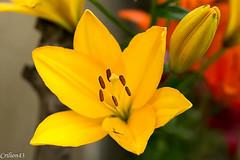 Lys jaune. (Crilion43) Tags: france vreaux divers lys jardin centre canon paysage fleurs cher rouge arbres brouillard ciel herbe jaune nature nuages orange rflex