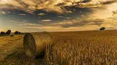 Golden fieno (Enrico Cusinatti) Tags: travel sky italy cloud nature clouds italia nuvole nuvola natura cielo minimalismo albero viaggi vacanze wheatfield fieno nubi vegetazione balledifieno canoneos6d oradorata enricocusinatti