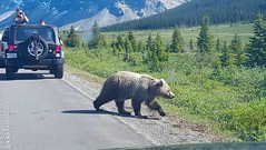 13501828_10157038106210716_7796474175403056887_n (TwoCrabs) Tags: bear canada june jeep alberta banff grizzly nationalparks grizzlybear 2016 jeepwrangler canadiannationalparks