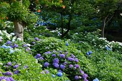 29Yamada Pond Park (anglo10) Tags: flower japan