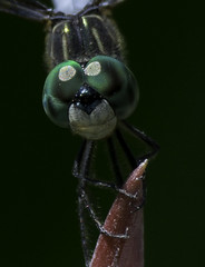 DragonFly_SAF9726-2 (sara97) Tags: nature insect outdoors dragonfly missouri saintlouis predator towergrovepark mosquitohawk odonata flyinginsect urbanpark photobysaraannefinke copyright2016saraannefinke