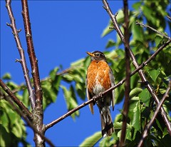 He Sang For An Hour (Sue90ca Out & About For Some CANADA DAY Fun) Tags: tree robin canon 6d
