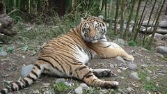 TIGRE_00456 (Annabell-Frias) Tags: tigre animal animalsalvaje