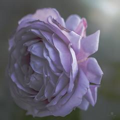 delta dawn (rockinmonique) Tags: pink light flower macro green rose canon pretty antique petal textures bloom romantic layers tamron blossum feminin moniquew