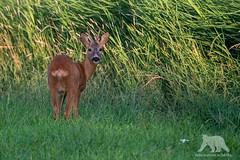 Roe Deer Buck (fascinationwildlife) Tags: wild summer male nature animal germany mammal wildlife natur north deer buck roe reh bock holstein schleswig nordfriesland