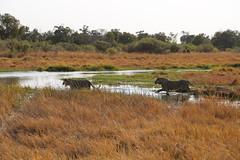River Crossing (www.mattprior.co.uk) Tags: adventure adventurer journey explore experience expedition safari africa southafrica botswana zimbabwe zambia overland nature animals lion crocodile zebra buffalo camp sleep elephant giraffe leopard sunrise sunset
