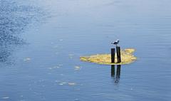 Seagull relax (bbarekas) Tags: seagull relax wodden sea wooden pole tsoukaliou lagoon panorama salaora arta greece