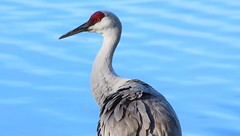 Sandhill Crane (careth@2012) Tags: sandhillcrane bird nature wildlife waterfowl feathers beak portrait