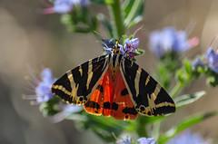 AMP_7939_1 (Amparo Hervella) Tags: mariposa butterfly naturaleza nature macro d7000 nikon nikond7000