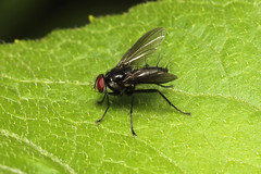 Diptera, Tachinidae sp. (Fly) - Costa Rica (Nick Dean1) Tags: diptera animalia arthropoda arthropod insect insecta costarica fly guanacaste lakearenal canon7d canon macro