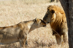 """jungle love"" Serengeti, Tanzania. (Kintu Patel) Tags: love lion africa savana"