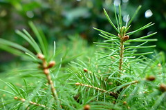 small world (nelescholten) Tags: green macro nature fir needle autumn