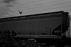 Crow (TwinCitiesSeen) Tags: grandrapids minnesota crow train blackandwhite canont3i tamron2875mm