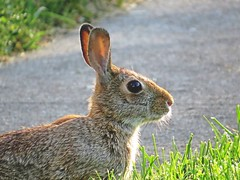 The rabbit froze waiting for me to make a move. (kennethkonica) Tags: animalplanet canonpowershot canon marioncounty global random hoosiers america usa midwest indiana indianapolis indy fun outdoor wild wildlife animaleyes ears still eyes profile bestshotoftheday stare
