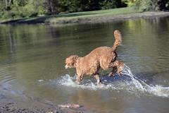 2730 (Jean Arf) Tags: ellison park dogpark rochester ny newyork september autumn fall 2016 poodle dog standardpoodle gladys jump leap pond run wet water