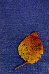 Autumn Leaf on Blue (KellarW) Tags: autumnleaves autumn autuminal leaf isolatednature autuminalleaf fall red yellowandblue blue yellowredleaf autumnleaf autuminalleaves leaves fallleaf isolated yellow fallleaves yellowandred