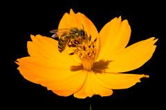 Pollination instant at Orto Botanico - Padova - Italy (riccardopavan) Tags: macro flower natura orange bee pollination yellow garden 500 f18 50mm allaperto petali afs holiday
