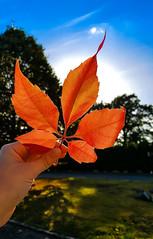 Hello Autumn (Jana Duwensee) Tags: herbst autumn fall blatt leaf wein weinblatt wild wine rot orange red himmel sky blue blau sonne sun september 2016 hand halten hold smartphone samsung s6 handy dorsten