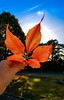 Hello Autumn (Jana Duwensee) Tags: herbst autumn fall blatt leaf wein weinblatt wild wine rot orange red himmel sky blue blau sonne sun september 2016 hand halten hold smartphone samsung s6 handy dorsten