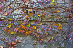 Ivy on the wall in autumn (DigiPub) Tags: autumn plant nature japan horizontal wall photography colorful background ivy nopeople explore backgrounds yokohama multicolored onsale wisteria  textured gettyimages autumncolor  autumnleaf  colorimage environmentalissues beautyinnature foliageplant beautyofnature  ma20141126 527100175 m20141121 o20141208