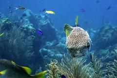 Porcupinefish 1411195544w (gparet) Tags: ocean sea fish coral photography underwater dive scuba diving buddy resort caribbean reef bonaire buddydive buddydiveresort