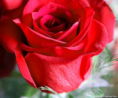 red rose thorns thankful grateful 1 (The Redhead Riter / Sherry Riter) Tags: roses rose redrose thankful grateful redroses closeuprose longstemredroses closeupredrose