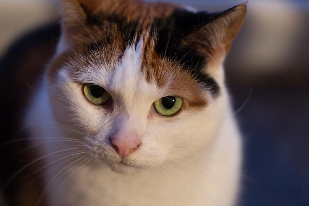 cloudy eye in cat