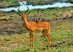 Let's all meet on the impala's back...Botswana (stevelamb007) Tags: africanwildlife stevelamb birds botswana choberiver chobenationalpark d70s impala redbilledoxpicker bird oxpicker kasane chobe eyecontact splitear ear damagedear nikon 18200mm