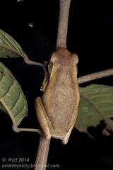 Polypedates leucomystax IMG_5101 copy (Kurt (OrionHerpAdventure.com)) Tags: tree amphibian frog tropical amphibians herp herps herpetology amphibia herpetofauna herping tropicalfrog tropicalfrogs polypedatesleucomystax polypedates fourlined fourlinedtreefrog frogsofmalaysia