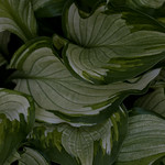 Greenbelt, hosta sp, roosevelt center, variegated, jdy117 XX201004275044.jpg thumbnail