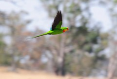 Superb Parrot (Polytelis swainsonii) ♂ in flight (beeater) Tags: parrots australianbirds birdphotography birdsofaustralia superbparrot polytelisswainsonii australiannativebirds nativeaustralianbirds australiannature birdsoftheact stuartharrisphotography