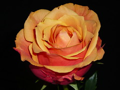 Rose (assy_47) Tags: flower rose blume tz1