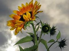 Sunbeam seeker (Dazzygidds) Tags: orange yellow clouds dynamic sunflower nationaltrust warwickk coughtoncourtgardens