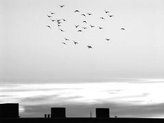 silhouette & birds 01 (dorisdaedalus) Tags: bw rooftop birds silhouette sundown