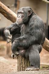 2014-12-21-12h54m21.BL7R9166 (A.J. Haverkamp) Tags: amsterdam zoo thenetherlands chimpanzee artis dierentuin chimpansee wakili canonef70200mmf28lisusmlens httpwwwartisnl pobamsterdamthenetherlands dob16102003