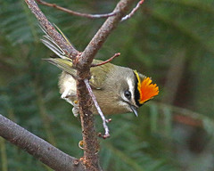 Golden-crowned Kinglet (Keith Carlson) Tags: goldencrownedkinglet kinglets regulussatrapa