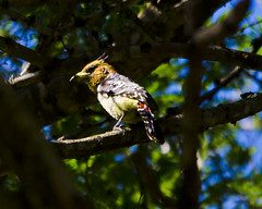 #251 Crested Barbet (bsmity13) Tags: africa trip plant tree bird animal flickr branch natural places 365 projects habitat swaziland share vertebrate barbet crestedbarbet trachyphonusvaillantii piciform 365speciesproject