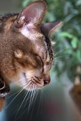 DSC06997 (RamaWangFlickr) Tags: cat gato neko  tamron9028 sonya77