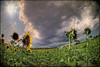 (0329/14) Un océano de girasoles (Pablo Arias) Tags: anna españa naturaleza flores amigos nature photoshop spain colours colores cielo nubes hdr texturas smörgåsbord photomatix moixent olequebonito nikond300 nikkor10mm greatmanipulart grouptripod olétusfotos goldenvisions pabloarias kddsflickr