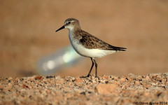 Little Stint (Calidris minuta) (Steve Arena) Tags: winter bird birds calidris stint list peep jeddah saudiarabia calidrisminuta plumage shorebirds shorebird winterplumage littlestint calidrid southjeddah