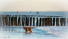 Nollestrand (cindydebree.nl) Tags: dog chien beach strand nederland thenetherlands playa zeeland hond hund plage paysbas spiaggia vlissingen olanda flushing walcheren nollestrand iersesetter lahollande flessingue