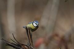Herrerillo Común - Parus caeruleus-Reino: Animal; philum: Cordados (Chorda