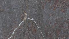 Red-tailed Hawk (Buteo jamaicensis) (ER Post) Tags: bird unitedstates hawk michigan prey muskegon buteo redtailedhawkbuteojamaicensis
