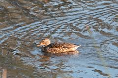 IMG_4609.jpg Mallard duck (female) (ldjaffe) Tags: mallardducks schwanlake