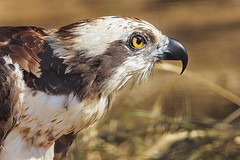 Osprey (Cruzin Canines Photography) Tags: wild portrait bird nature animal closeup canon hawk wildlife calm osprey califorina birdofprey fisheagle topaz fishhawk seahawk riverhawk topazlabsdenoise canonrebelt2i topazlabsinfocus topazlabsglow
