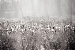 Dreamy cattails. (k e n t u c k y  d r e a m e r) Tags: winter sunlight white black nature beauty fairytale woods woodlands glow cattails dreamy luminous
